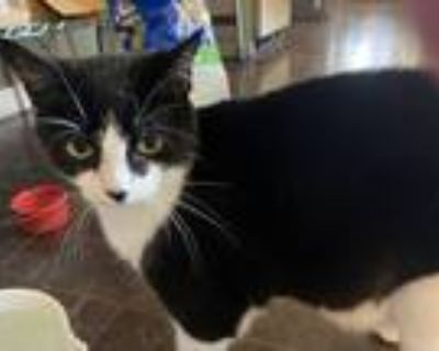 Adopt Bonnie a Black (Mostly) American Shorthair / Mixed (short coat) cat in