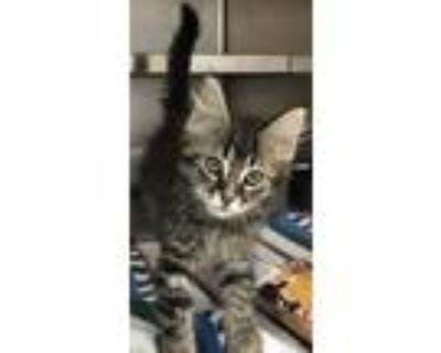 Adopt Bedrock a Gray, Blue or Silver Tabby Domestic Mediumhair (medium coat) cat