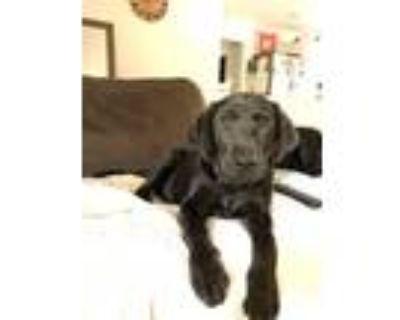 Adopt Levi a Labrador Retriever