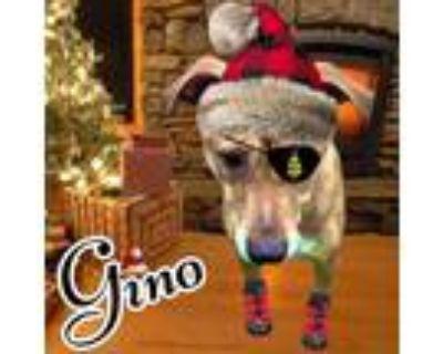 Adopt Gino a Brown/Chocolate Labrador Retriever / Pit Bull Terrier / Mixed dog