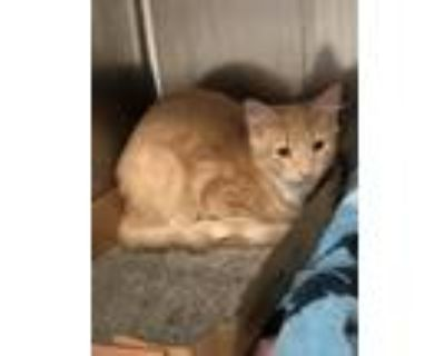 Adopt Dreamsicle a Domestic Mediumhair / Mixed (short coat) cat in Fort Myers