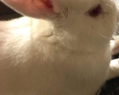 White Albino Bunny