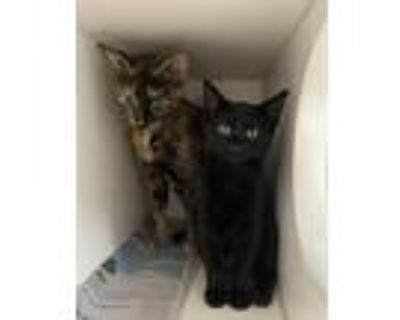 Ally, Domestic Shorthair For Adoption In Newport, North Carolina