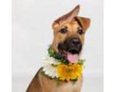 Adopt Jojo V a German Shepherd Dog / Mixed dog in Dallas, TX (32140617)