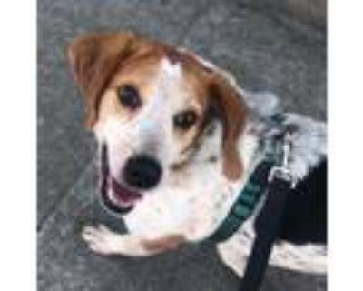 Adopt Slash a White Hound (Unknown Type) / Mixed dog in Richmond, VA (31035137)