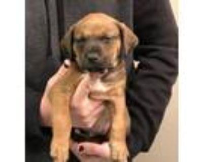 Adopt Bandit a German Shepherd Dog