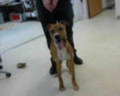 Adopt RIO a Tan/Yellow/Fawn - with White Labrador Retriever / Mixed dog in
