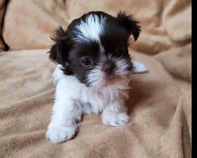 Shih Tzu Puppy - SMALL Dark Choc and White Male
