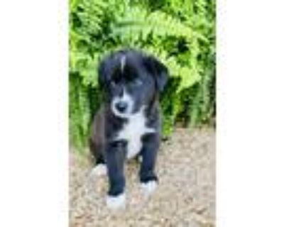Adopt Lauren~adopted! a Black - with White Border Collie / Shepherd (Unknown