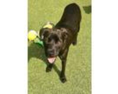 Adopt Harlow a Brown/Chocolate Terrier (Unknown Type, Medium) / Labrador