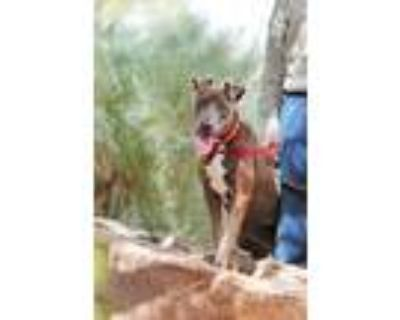 Adopt Shay a Pit Bull Terrier