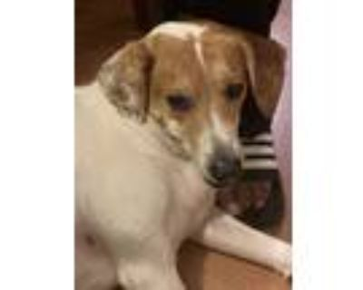 Adopt Mylo a White - with Tan, Yellow or Fawn Beagle / Jack Russell Terrier /