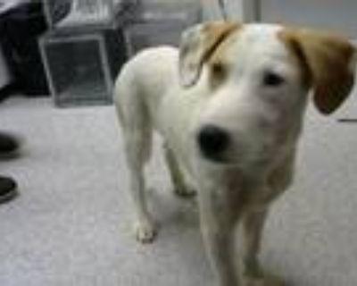 Adopt A155460 a Australian Cattle Dog / Blue Heeler