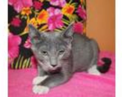 Adopt SAMUEL a Gray or Blue (Mostly) Domestic Shorthair / Mixed (short coat) cat