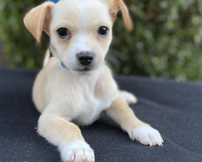 Brice 11145 - Mixed Breed (Small) - Puppy Male