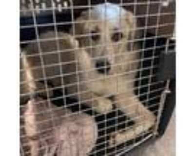 Adopt Wesley Fizz a White - with Tan, Yellow or Fawn Great Pyrenees / Mixed dog