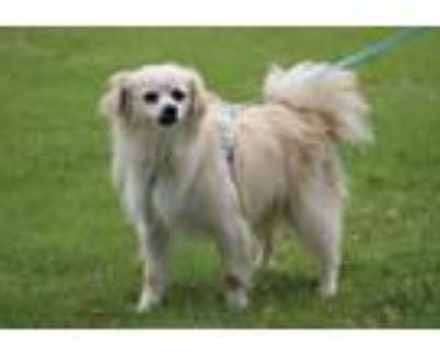 Adopt Bobby a Tan/Yellow/Fawn Pomeranian / Spaniel (Unknown Type) / Mixed dog in