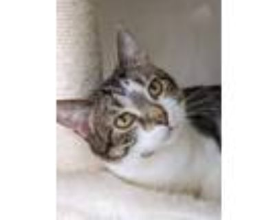 Adopt Illiana a Brown Tabby Domestic Shorthair / Mixed (short coat) cat in South