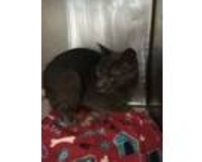 Adopt 48110210 a Gray or Blue American Shorthair / Mixed cat in El Paso