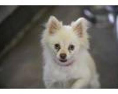 Adopt Mia a White Pomeranian / Mixed dog in Colorado Springs, CO (31869984)