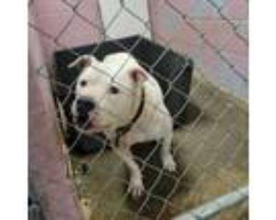 Adopt Precious a Pit Bull Terrier