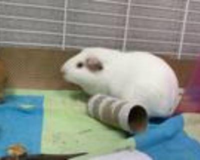 Adopt AMY a Guinea Pig