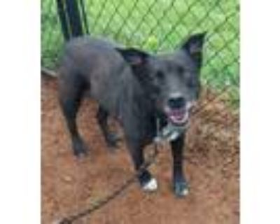 Adopt Little a Black Shepherd (Unknown Type) / Mixed dog in Anderson