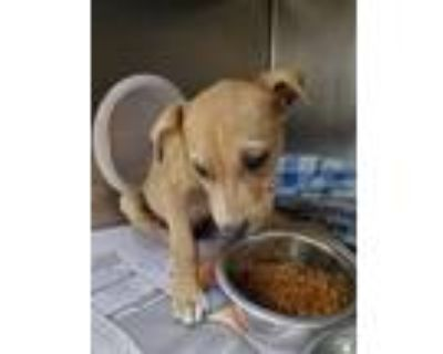 Adopt TINK a Pit Bull Terrier, Mixed Breed