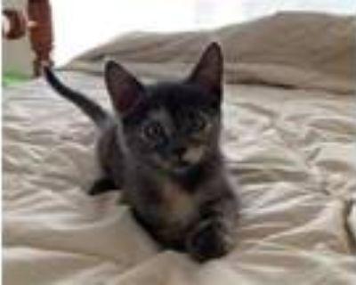 Adopt GRACE a Gray, Blue or Silver Tabby Domestic Mediumhair / Mixed (medium