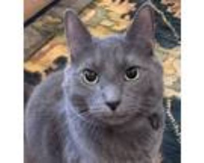 Adopt Marley a Gray or Blue Russian Blue / Mixed (short coat) cat in Bethesda