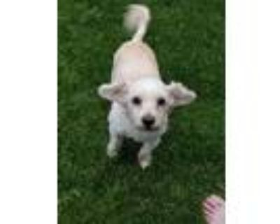 Adopt Fluffy a White Poodle (Standard) dog in Castle Rock, CO (31974719)