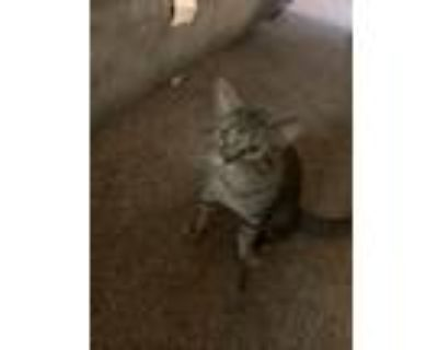 Adopt Adonis a Spotted Tabby/Leopard Spotted Bengal / Mixed (short coat) cat in