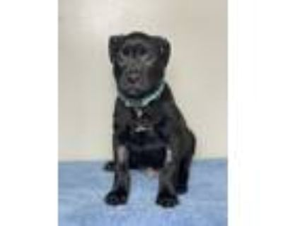 Adopt Avanti a Black Mixed Breed (Large) / Mixed dog in Palm Springs