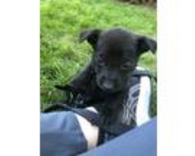 Adopt Sarah Lacina a Black Labrador Retriever dog in Merrifield, VA (31649822)
