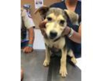 Adopt 48003480 a Black Shepherd (Unknown Type) / Mixed dog in Los Lunas