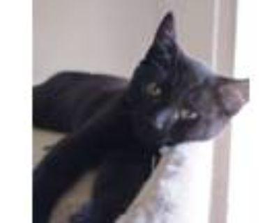 Adopt Chika a American Shorthair, Domestic Short Hair