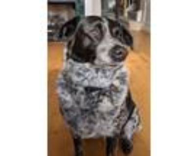 Adopt Pepper a Black - with White Border Collie / Labrador Retriever / Mixed dog