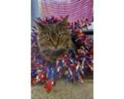 Adopt Carrera (In foster) a Domestic Short Hair