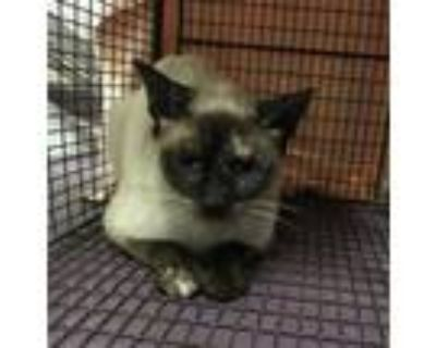 Adopt *MORGANA a Brown or Chocolate (Mostly) Siamese / Mixed (short coat) cat in