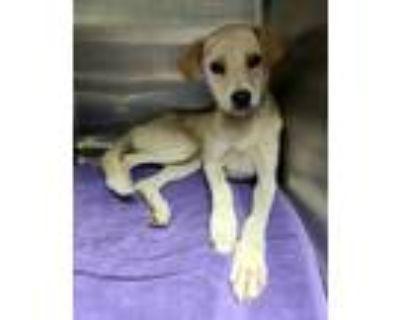 Adopt Nala +PUPPY+ a Tan/Yellow/Fawn Labrador Retriever / Mixed dog in Fort