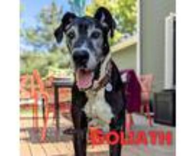 Adopt Goliath a Black - with White Great Dane / Mixed dog in Mead, CO (31512532)