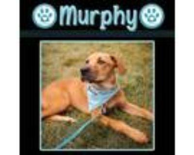 Adopt Murphy 073121 (The Players) a Hound, Labrador Retriever