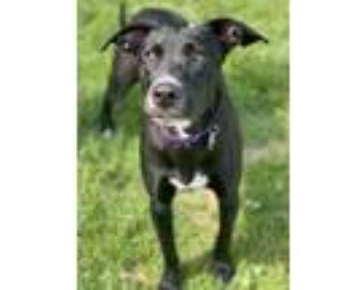Adopt Bailey a Black Labrador Retriever / Mixed dog in Chester Springs