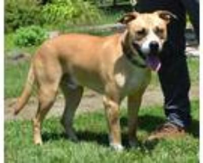 Adopt Jax a White American Pit Bull Terrier / Husky / Mixed dog in Midland