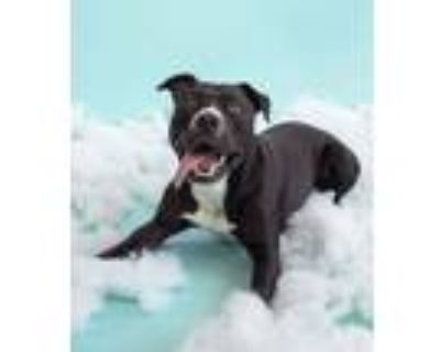 Adopt Bugsy a American Staffordshire Terrier, Mixed Breed