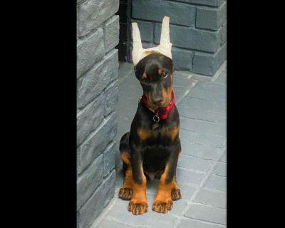 AKC Champion-Line Doberman Puppies