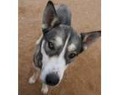 Adopt Buffy-ADOPTED 7/10/21 a Black - with Gray or Silver Husky / Mixed dog in