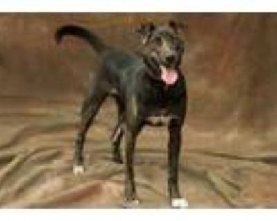 Adopt Rena a Brown/Chocolate Hound (Unknown Type) / Mixed dog in Cashiers