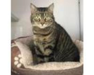 Adopt Cookie a Brown Tabby Domestic Shorthair / Mixed (short coat) cat in