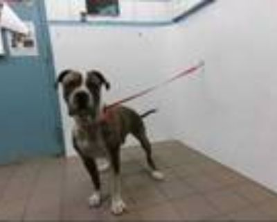 Adopt NIPSY a Brindle - with White American Pit Bull Terrier / Mixed dog in